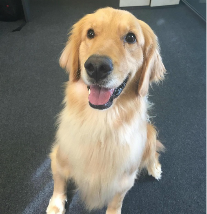 International Pet Transport Relocating Golden Retriever Dog From Nz
