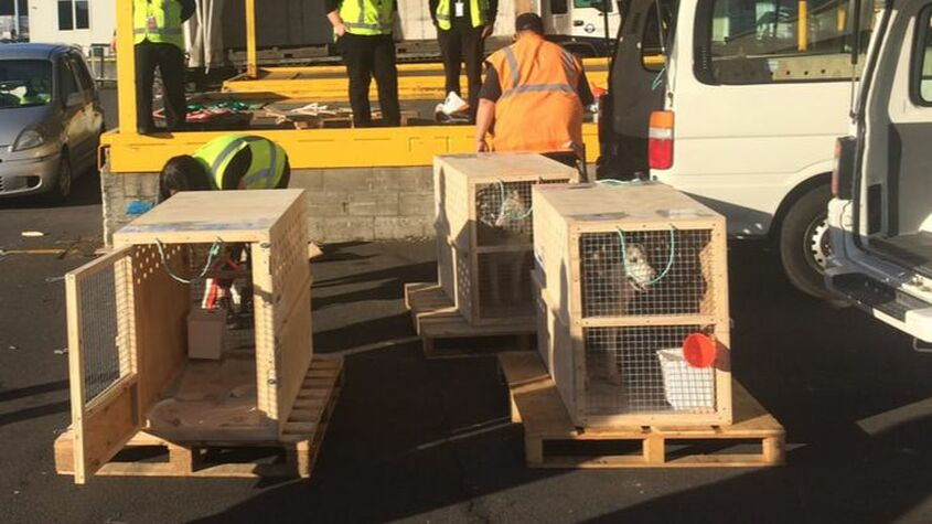 Pet Transport NZ fly husky dogs from Auckland to San Francisco USA 4 - Air NZ cargo, Auckland NZ