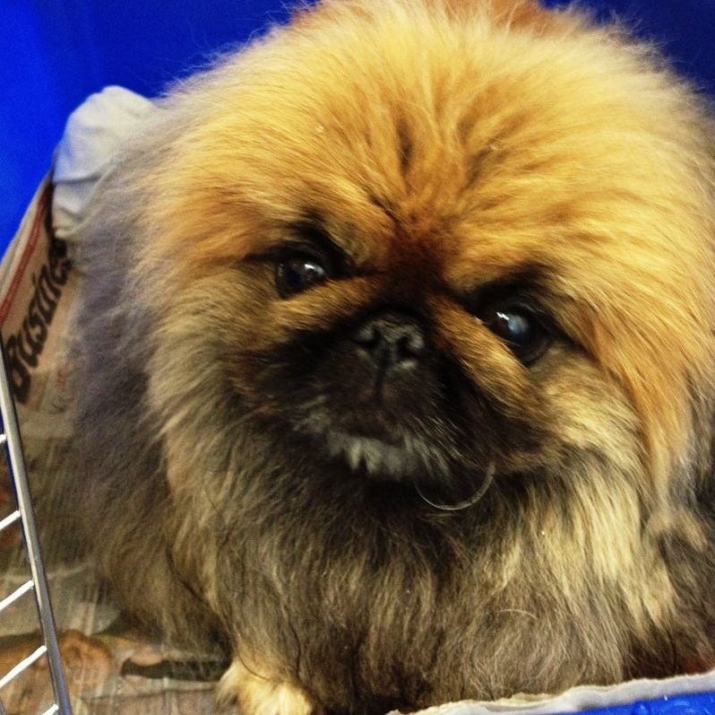 Pet Transport NZ International Pet Courier fly YIYI Pekingese dog from Auckland New Zealand to China, Asia
