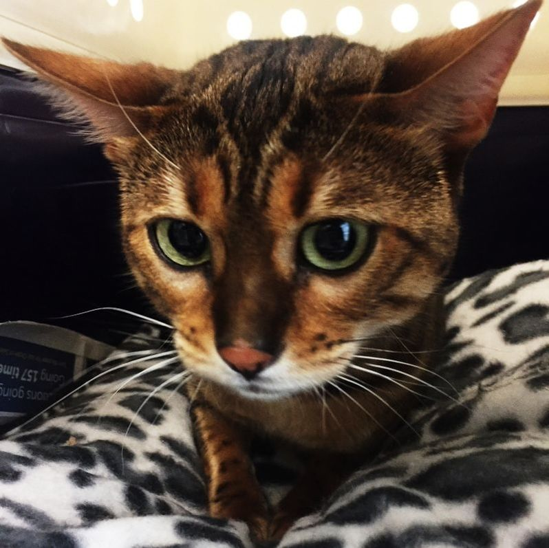 Pet Transport NZ International Pet Courier Fly Cat to London from Auckland Send Bengal Kitten to the UK from New Zealand